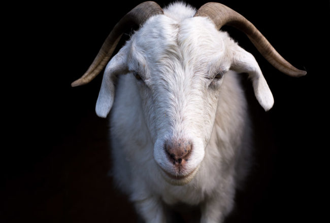 Rosie The Goat